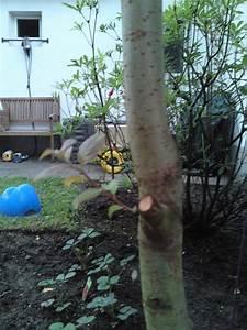 Was Ist Das Für Ein Baum : was f r ein baum ist das salix caprea baumkunde forum ~ Buech-reservation.com Haus und Dekorationen
