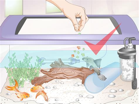 introduce  pleco   goldfish tank  steps