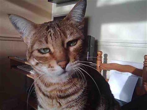 bengal cat  watery eyes