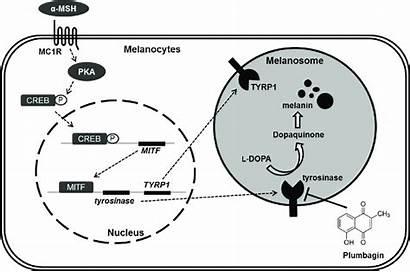Melanin Mechanism Synthesis Plumbagin Stimulating Melanocytes Msh