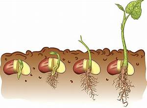 Beans clipart germination - Pencil and in color beans ...