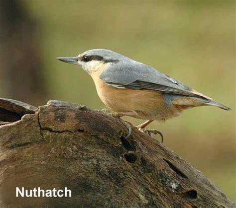 british birds