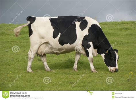 dairy farm with holstein cows in pasture and three silos holstein cow dairy farm uk stock images image 30410414