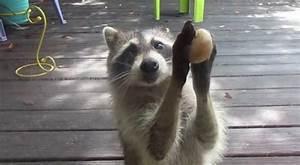 Was Fressen Waschbären : nur selten klaut er dem hund fressen aber seine sch ssel ist leer und sein verhalten ist ~ Frokenaadalensverden.com Haus und Dekorationen