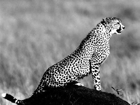Animal Black And White Wallpaper - black cheetah wallpapers wallpaper cave