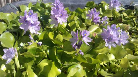 water hyacinth  water lettuce  arrived  spring