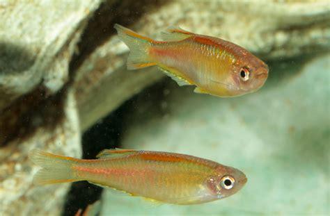 glowlight danio danio choprae fish tanks  ponds