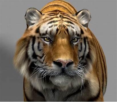 Tiger Animated Tigre Cgtrader Models Animals Animation