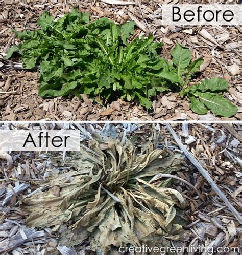 Nontoxic Weed Killer Recipe Works Better Than Roundup