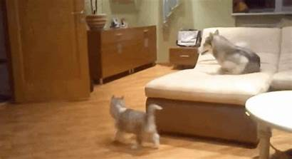 Mom Husky Teaches Puppies Play Coolest Ever