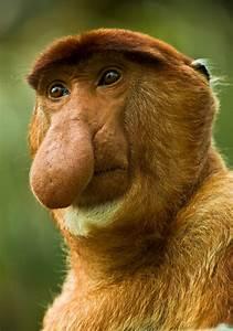 pensive proboscis monkey   Non-Human Animals   Pinterest