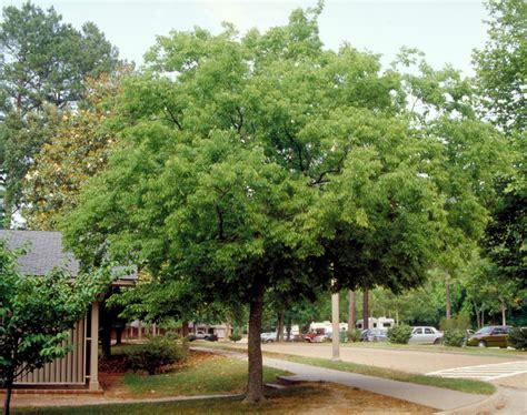 Celtis australis | Hackberry, Southern nettle tree | Van ...