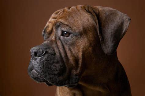 Reasons Why Boxer Puppies May Lose Their Hair Pets