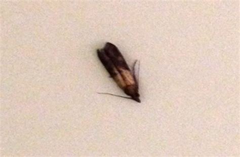 small moths in house pictures to pin on pinterest pinsdaddy
