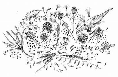 Seeds Prairie Drawing Line Restoration Needy Germinate