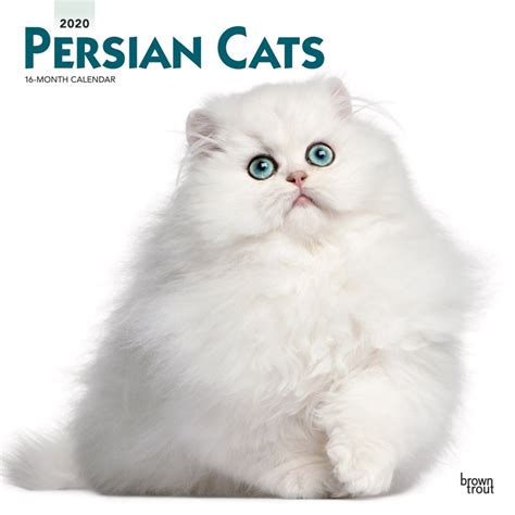 persian cats monthly square wall calendar animals cats