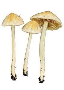 baltā sārtlapīte - Entoloma sericellum (Fr.) P. Kumm. - Sēnes - Latvijas daba