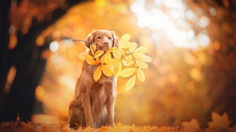 Autumn Animal Wallpaper - wallpaper golden retriever autumn leaves foliage 4k