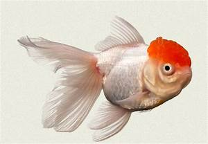 Red Cap Fantail Fancy Goldfish | Tropicali