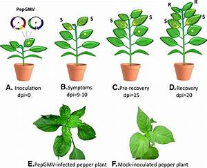 Transcriptome Analysis Of Symptomatic And Recovered Leaves