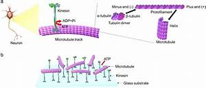 Structure Of Biomolecular Motor System Of The In Vivo And