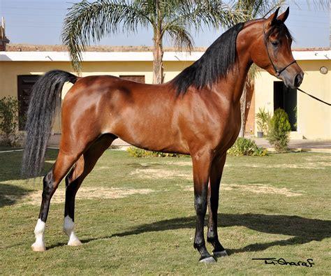arabian horse horses breeds egyptian breed arab most arabians stallion rca bay stallions sequel arabiansltd cairo tail son stunning epitome