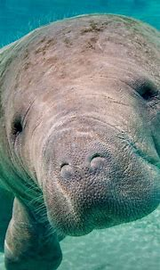 Free download Animal Manatee Wallpaper [1920x1200] for ...