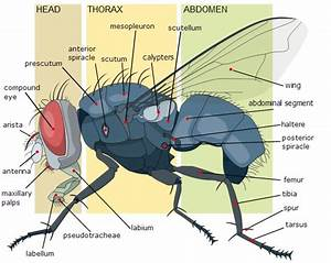 Insect Anatomy And Physiology