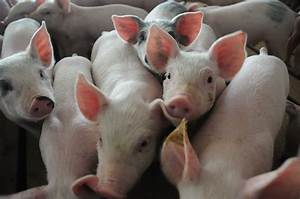 Weekly Cash Feeder Pig Prices Top  100 Cwt