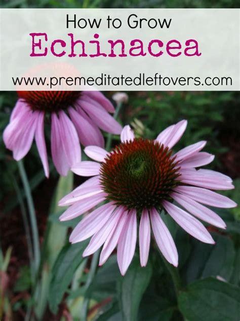 how to grow coneflowers growing echinacea in pots 28 images growing coneflower echinacea thriftyfun echinacea