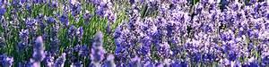 Lavendel Pflanzen Balkon : lavendel f r ihren garten dehner ~ Lizthompson.info Haus und Dekorationen