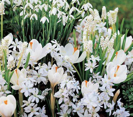 white flower collection of 4 early bulbs white