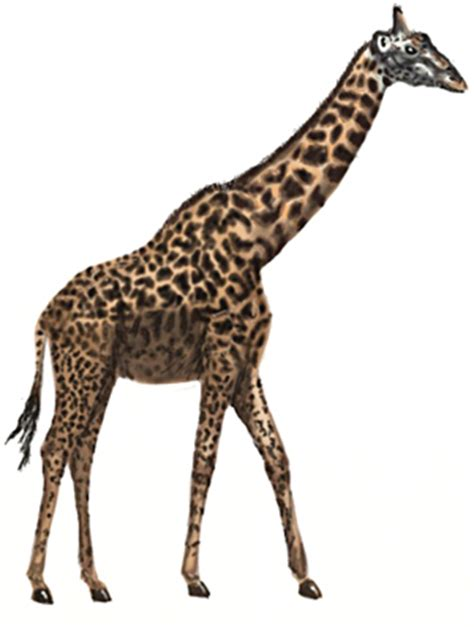 draw  giraffe draw step  step
