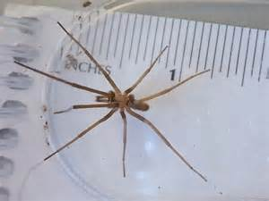Light Brown Spiders by Small Light Brown Sc Spider Kukulcania Hibernalis