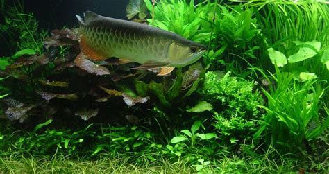 Setting Aquascape by Setting Up Aquascape Aquarium With Arowana Fish