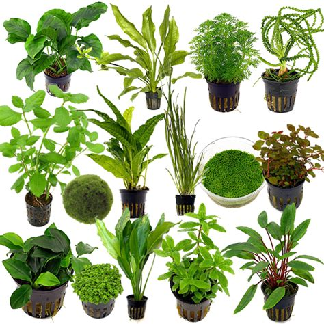 water plants for aquarium live tropical aquarium fish tank aquatic plants for sale freshwater plants ebay
