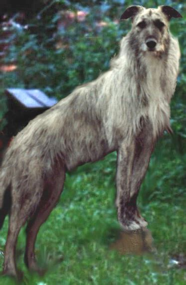 Lurcher - Wikimedia Commons