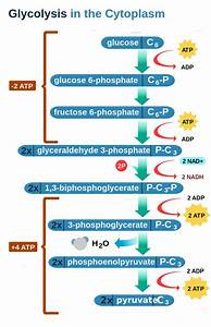 32 Glycolysis Diagram Simple