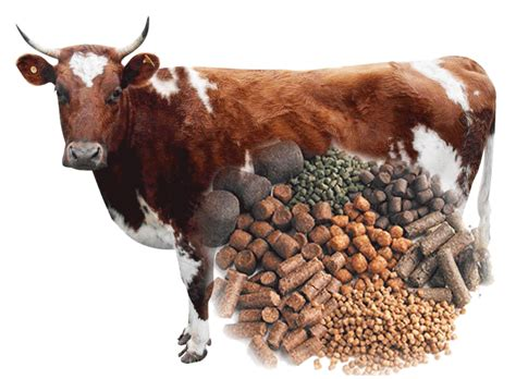cattle feed pellets making guide ecochicks poultry