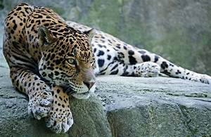 Would You Like to See Jaguars Back in the Lower 48 ...  Jaguar