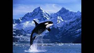 Killer Whales  Orca  Off The Coast Of Vancouver Island