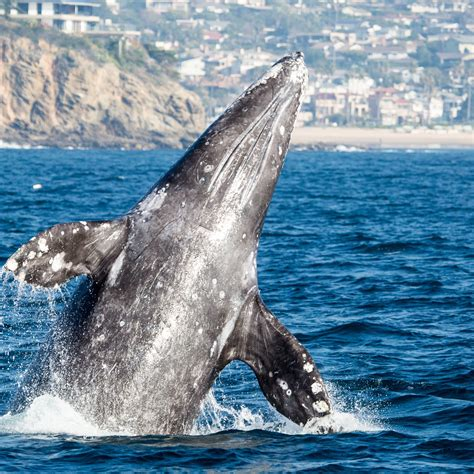 gray whale migration winter spring 2016 16 whale