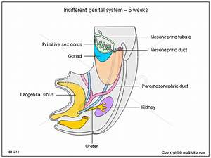 Male Genital System Diagram To Label