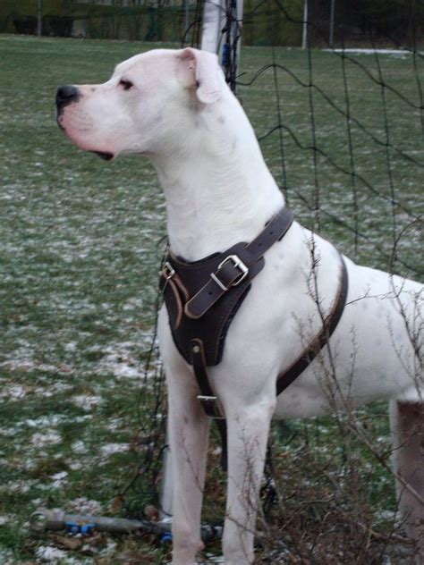 agitation protection attack leather dog harness