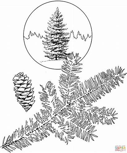 Coloring Spruce Tree Trees Pine Coloriage Printable
