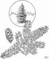 Coloring Pine Trees Coloriage Spruce Tree Colorare Printable Blanche Picea Disegno Immagini Epinette Skip sketch template