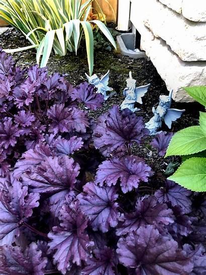Heuchera Forever Purple Terranovanurseries