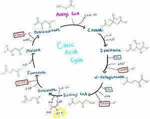 File Citric Acid Cycle Diagram Png