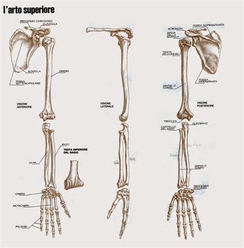 gabbia toracica anatomia canevassa anatomia artistica l apparato scheletrico