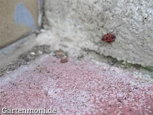 Feuerwanzen Im Garten : feuerwanzen bek mpfen gartenmoni altes wissen bewahren ~ Lizthompson.info Haus und Dekorationen